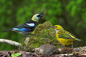 Golden hooded Tanager (Tangara larvata) male (yellow, black, blue) and female (yellow), Costa Rica  -  Visuals Unlimited