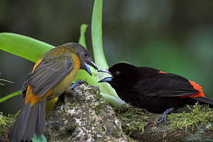 Passerini's / Scarlet-rumped Tanager (Ramphocelus passerinii) male (black and scarlet) and female (grey and orange), Costa Rica - Visuals Unlimited
