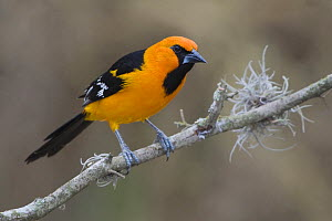 Altamira Oriole (Icterus gularis) male perched on a branch in south Texas, USA. - Visuals Unlimited