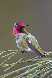 Anna's Hummingbird (Calypte anna) male portrait, Victoria, British Columbia, Canada.  -  Visuals Unlimited