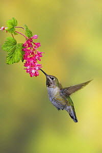 Anna's Hummingbird (Calypte anna) female feeding at Redcurrant flower in Victoria, British Columbia, Canada.  -  Visuals Unlimited