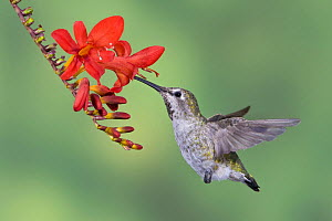 Anna's Hummingbird (Calypte anna) female feeding at a red tubular flower in Victoria, British Columbia, Canada.  -  Visuals Unlimited
