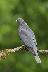 Band tailed Pigeon (Patagioenas fasciata) perched on a branch in Victoria, British Columbia, Canada.  -  Visuals Unlimited