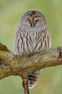 Barred Owl (Strix varia) perched on a branch in Victoria, British Columbia, Canada. - Visuals Unlimited