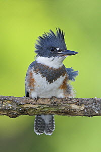 Belted Kingfisher (Megaceryle alcyon) perched on a branch in Mississauga, Ontario, Canada.  -  Visuals Unlimited