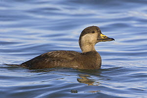 Black Scoter (Melanitta nigra) female swimming offshore near Qualicum, British Columbia, Canada.  -  Visuals Unlimited