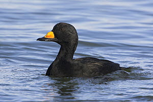 Black Scoter (Melanitta nigra) male swimming offshore near Qualicum, British Columbia, Canada.  -  Visuals Unlimited