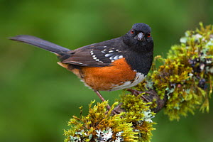 Spotted Towhee (Pipilo maculatus) perched on a mossy branch, Victoria, British Columbia, Canada.  -  Visuals Unlimited