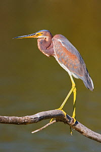 Tricolored Heron (Egretta tricolor) profile portrait, Texas, USA.  -  Visuals Unlimited