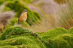 Tawny Antpitta (Grallaria quitensis) perched on Paramo vegetation in the highlands of Ecuador.  -  Visuals Unlimited