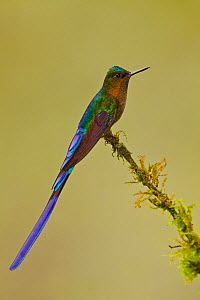 Violet tailed Sylph (Aglaiocercus coelestis) male perched on a branch, Tandayapa Valley, Ecuador.  -  Visuals Unlimited