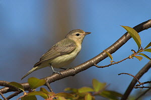 Warbling Vireo (Vireo gilvus) perched on a branch, Ontario, Canada.  -  Visuals Unlimited