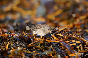 Juvenile Purple sandpiper (Calidris maritima) searching for food in seaweed washed up on the shore, Norway, March. - Mike Potts