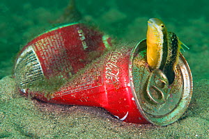 Brown Sabretooth Blenny (Petroscirtes lupus) in a discarded coke can. Sydney harbour, New South Wales, Australia.  -  Alex  Mustard