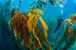 A diver photographs in a giant kelp forest (Macrocystis pyrifera). Fortescue Bay, Tasmania, Australia. Tasman Sea. This is the same species of giant kelp which is widespread on the Pacific coast of No... - Alex  Mustard