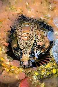 Grunt sculpin (Rhamphocottus richardsonii) looks out from its home in an empty barnacle shell. This unusual looking fish is evolved to resemble the giant acorn barnacle, when sheltering in a disused s...  -  Alex  Mustard