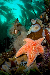 RF- Leather sea star or Garlic star (Dermasterias imbricata) in shallow water beneath forest. Browning Pass, Vancouver Island, British Columbia, Canada. North East Pacific Ocean. (This image may be li...  -  Alex Mustard