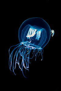 Red eye medusa (Polyorchis penicillatus) with its feeding tentacles extended to catch planktonic prey. Note that the bell of the jelly has hitchhiking amphipods (Hyperia medusarum). Browning Pass, Van... - Alex  Mustard