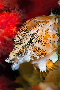 Portrait of a Grunt sculpin (Rhamphocottus richardsonii) yawns as it moves through soft corals and sponges. This unusual looking fish is evolved to resemble the giant acorn barnacle. The fish lives in...  -  Alex  Mustard