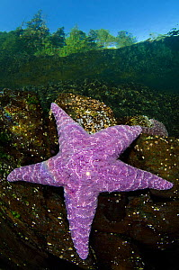 Purple sea star (Pisaster ochraceus) in shallow water beneath forest. Browning Pass, Vancouver Island, British Columbia, Canada. North East Pacific Ocean. - Alex  Mustard
