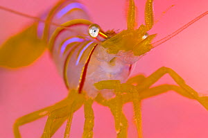 A portrait of a small Candy stripe shrimp (Lebbeus grandimanus) in front of its host pink anemone (out of focus because of the magnification). Browning Wall, Browning Pass, Port Hardy, Vancouver Islan... - Alex  Mustard