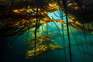 Scenic view of a bull kelp forest (Nereocystis luetkeana) with sunlight shining through the fronds. Browning Pass, Port Hardy, Vancouver Island, British Columbia. Canada. North East Pacific Ocean. - Alex  Mustard