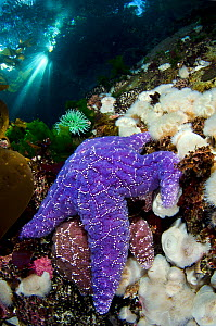 A pair of Purple sea stars (Pisaster ochraceus) climb on anemones in shallow water, beneath trees in Browning Pass, Port Hardy, Vancouver Island, British Columbia. Canada. North East Pacific Ocean. - Alex  Mustard