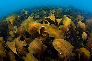 Forest of sugar kelp (Saccharina latissima) growing in shallow water in north east Iceland. North Atlantic Ocean. - Alex  Mustard