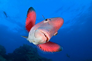 A portrait of a Mexican hogfish (Bodianus diplotaenia). Socorro Island, Revillagigedos, Mexico. East Pacific Ocean  -  Alex  Mustard
