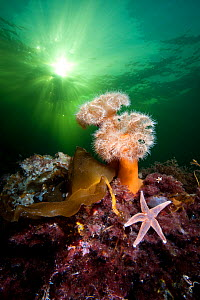 Plumose anemones (Metridium senile) and common starfish (Asterias rubens) beneath the sun in a Norwegian Fjord. Gulen, Bergen, Norway. North East Atlantic Ocean. - Alex  Mustard