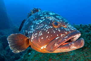 Dusky grouper (Epinephelus marginatus). Lavezzi Islands, Between Corsica, France and Sardinia, Italy. Mediterranean Sea.  -  Alex  Mustard