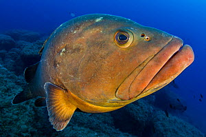 A portrait of a large Dusky grouper (Epinephelus marginatus). Lavezzi Islands, between Sardinia and Corsica in the Mediterranean Sea.  -  Alex  Mustard
