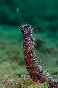 A male sea cucumber (Holothuria tubulosa) rears up from the seabed and releases a stream of sperm. Spawning of this species has been reported to be synchronised with lunar phases, however this photo w... - Alex  Mustard
