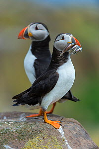 Atlantic puffins (Fratercula arctica) perched on a rock, one has a beak filled with sand eels (Ammodytes marinus). Farne Islands, Northumberland, England, UK. North Sea. - Alex  Mustard