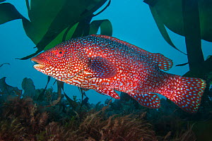 A portrait of a male Ballan wrasse (Labrus bergylta), showing his bright mating colours. Plymouth, Devon, England, Great Britain. Wreck of the Glen Strathallan, Plymouth Sound, English Channel. Highly...  -  Alex  Mustard