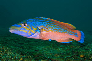 A portrait of a male Cuckoo wrasse (Labrus mixtus), showing his bright mating colours. Plymouth, Devon, England, Great Britain. Wreck of the Glen Strathallan, Plymouth Sound, English Channel.  -  Alex  Mustard