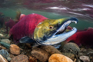 Male Sockeye salmon (Oncorhynchus nerka), with his characteristic hooked jaw, in spawning river. Adams River, British Columbia, Canada, October.  -  Alex  Mustard