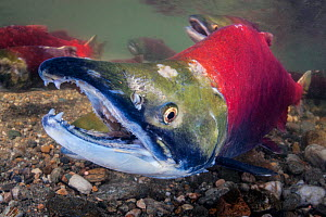 Male Sockeye salmon (Oncorhynchus nerka) on his redd (nest). The female is behind the male, shown here with his characteristic hooked jaw. Adams River, British Columbia, Canada, October.  -  Alex  Mustard