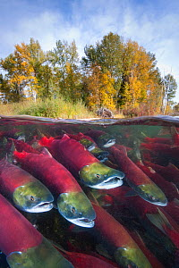 A split level photo of group of Sockeye salmon (Oncorhynchus nerka) fighting their way upstream as they migrate back to the river of their birth to spawn, trees showing autumnal colours. Adams River,...  -  Alex  Mustard
