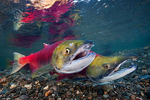 Pair of Sockeye salmon (Oncorhynchus nerka) defend their redd (nest). The female is in front and the male behind with his characteristic hooked jaw. Adams River, British Columbia, Canada, October.  -  Alex  Mustard