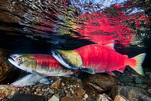 A female (in front) and male Sockeye salmon (Oncorhynchus nerka) over eggs in their spawning river. Adams River, British Columbia, Canada, October. - Alex Mustard,Alex  Mustard