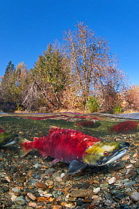 A split level photo of male Sockeye salmon (Oncorhynchus nerka) in Adams River, British Columbia, Canada, October. - Alex  Mustard