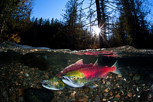 Pair of Sockeye salmon (Oncorhynchus nerka) on their redd in a shallow stream. Female in front of male. Huihil Creek, Adams River, British Colombia, Canada, October.  -  Alex  Mustard