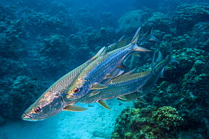 Group of smaller male Tarpon (Megalops atlanticus) rub along the flanks of a larger female during courtship as they swim over Coral reef. George Town, Grand Cayman, Cayman Islands, British West Indies...  -  Alex  Mustard