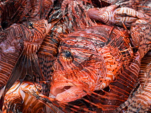 Culled lionfish (Pterois volitans) stored in Cooler with ice so that they can be supplied to restaurants. Lionfish are native to the Indo-Pacific, but introduced to the Caribbean Sea from aquariums, t...  -  Alex  Mustard