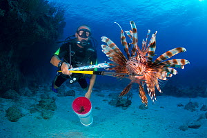 Diver with a speared lionfish (Pterois volitans). Indo-Pacific lionfish are an invasive species on Caribbean reefs and are hunted under license to keep their population and therefore predation level l...  -  Alex  Mustard