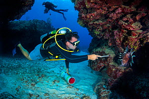 Diver (Steve Braodbelt) prepares to spear Male lionfish (Pterois volitans). Indo-Pacific lionfish are an invasive species on Caribbean reefs and are hunted under license to keep their population and t...  -  Alex  Mustard