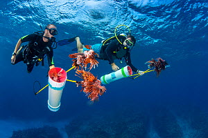 Pair of divers prepare to surface after an invasive lionfish (Pterois volitans) culling dive. With collecting tubes filled, final lionfish are brough to the surface on hand spears. Lionfish are native...  -  Alex  Mustard