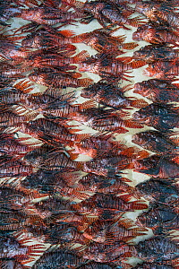 Culled invasive lionfish (Pterois volitans) these lionfish are from a single day of culling, coordinated by the Cayman Islands Department of Environment, collected by 6 divers from three dive sites. L...  -  Alex  Mustard