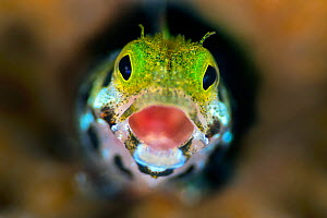 Secretary blenny (Acanthemblemari maria) yawns as it peers out from a hole in the reef. West Bay, Grand Cayman, Cayman Islands, British West Indies. Caribbean Sea. - Alex  Mustard